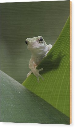 Wood Print featuring the photograph Juvenile Grey Treefrog by Daniel Reed