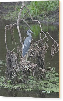 Juvenile Little Blue Heron Wood Print