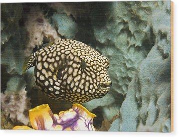 Juvenile Map Pufferfish Wood Print by Georgette Douwma