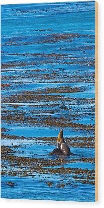 Kelp And Sea Lion Wood Print by Adam Pender
