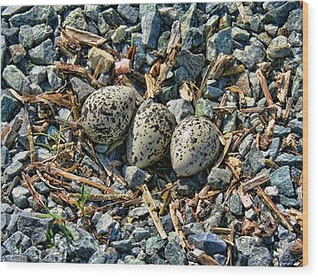 Killdeer Bird Eggs Wood Print