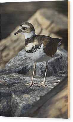 Killdeer Wood Print by Saija  Lehtonen