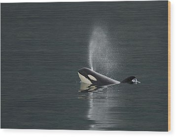 Killer Whale Calf Blows As It Surfaces Wood Print by Ralph Lee Hopkins