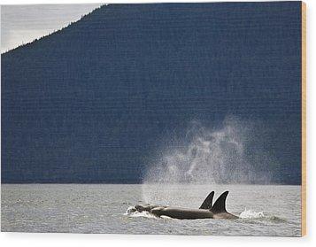 Killer Whales, Alaska, Usa Wood Print by Richard Wear