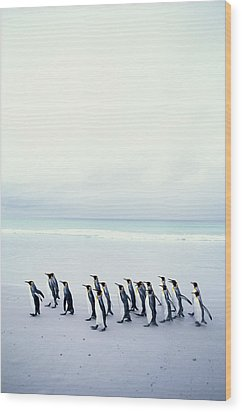 King Penguins (aptenodytes Patagonicus) Falkland Islands Wood Print by Kim Heacox
