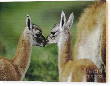 Wood Print featuring the photograph Kissing Guanacos - Torres Del Paine Np Chile by Craig Lovell