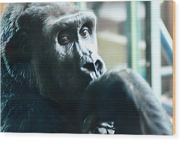Kivu The Gorilla Wood Print by Bill Cannon