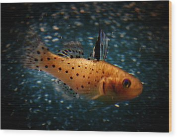 Knight Goby Wood Print by Gerald Kloss