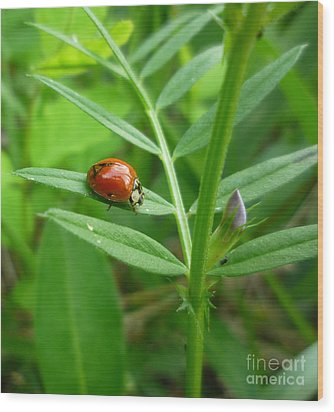 Wood Print featuring the photograph Ladybug And Bud by Renee Trenholm