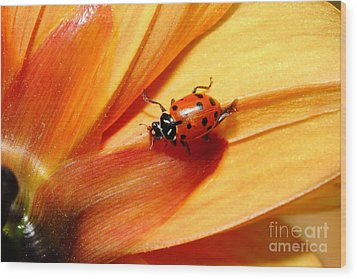 Ladybug On Orange Yellow Dahlia . 7d14686 Wood Print by Wingsdomain Art and Photography