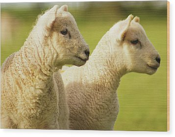 Lambs Wood Print by Ginny Battson