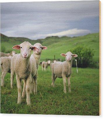 Lambs In Wyoming Wood Print by Danielle D. Hughson