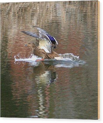 Landing Duck Wood Print by Valia Bradshaw
