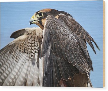 Lanner Falcon Wood Print by Paulette Thomas