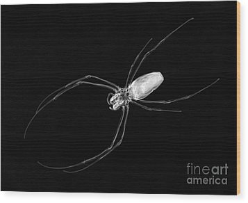 Large Spider X-ray Wood Print by Ted Kinsman
