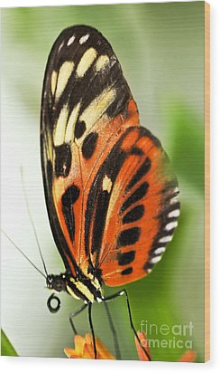 Large Tiger Butterfly Wood Print by Elena Elisseeva