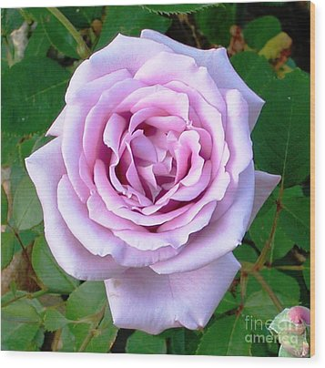 Wood Print featuring the photograph Lavendar Rose by Alys Caviness-Gober