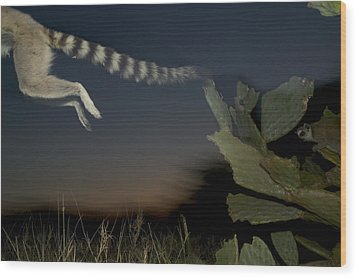 Leaping Ring-tailed Lemur  Wood Print by Cyril Ruoso