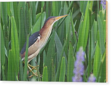 Least Bittern Wood Print by Jennifer Zelik