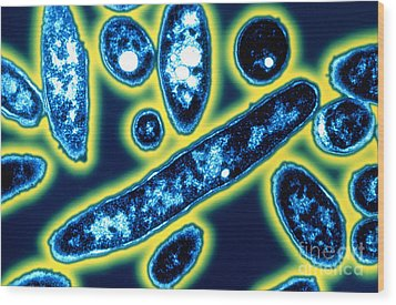 Legionella Bacteria Wood Print by Science Source