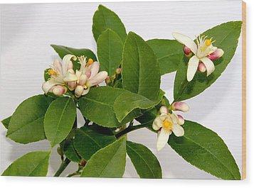 Lemon Blossom Wood Print by Karen Grist