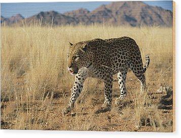 Leopard Panthera Pardus Walking, Africa Wood Print by Winfried Wisniewski