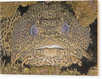 Leopard Toadfish Wood Print by Clay Coleman