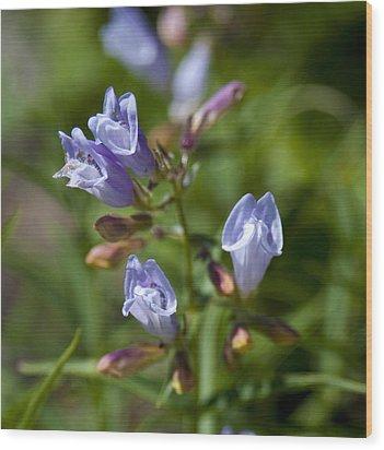 Light Purple Wild Penstemons  Wood Print by Paul Cannon