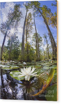 Lily Pad Flower In Cypress Swamp Forest Wood Print by Dustin K Ryan