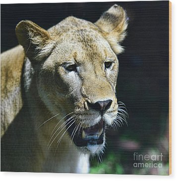 Lion - Endangered Species - Wildlife Wood Print by Paul Ward
