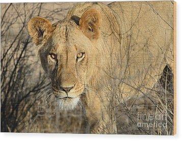 Lion Wood Print by Alan Clifford