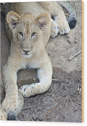 Lion Cub Wood Print by Becky Lodes