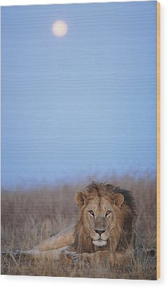 Lion (panthera Leo) Resting In Grass Under Setting Full Moon Wood Print by Paul Souders