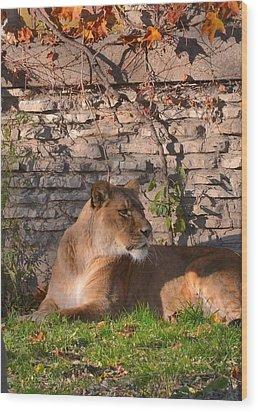 lion Territory Wood Print