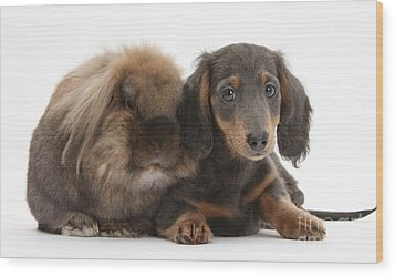 Lionhead-cross Rabbit And Dachshund Pup Wood Print by Mark Taylor