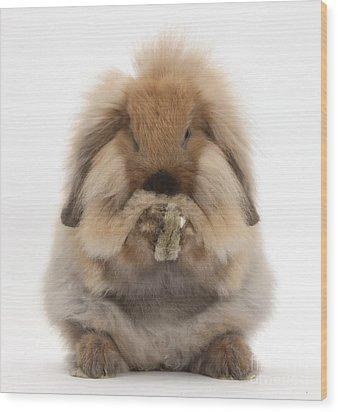Lionhead X Lop Rabbit Grooming Wood Print by Mark Taylor