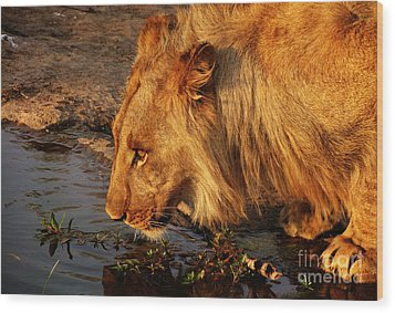 Lion's Pride Wood Print by Andrew Paranavitana