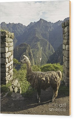 Llama On The Inca Trail Wood Print by Darcy Michaelchuk