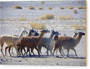 Llamas  Atacama Desert Wood Print
