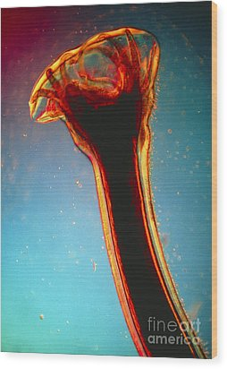 Lm Of Posterior End Of Hookworm Wood Print by Eric Grave
