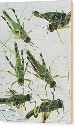 Locusts Wood Print by David Aubrey