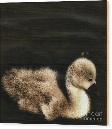 Lone Cygnet Wood Print by Isabella F Abbie Shores
