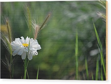Wood Print featuring the photograph Lone Daisy by Amee Cave