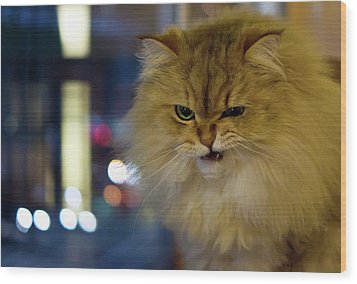 Long-haired Cat Beside Window Wood Print by Benjamin Torode