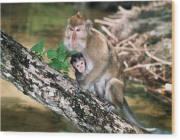 Long-tailed Macaque Mother And Baby Wood Print by Georgette Douwma