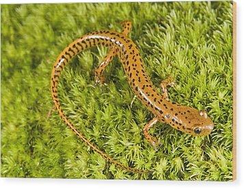 Longtail Salamander Eurycea Longicauda Wood Print by Jack Goldfarb