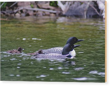 Wood Print featuring the photograph Loons With Twins 3 by Steven Clipperton