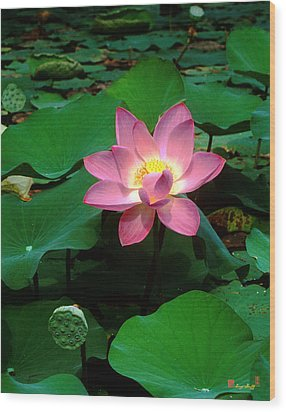 Lotus Flower And Capsule 24a Wood Print