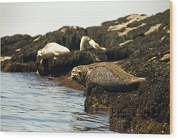 Lounging Seals Wood Print