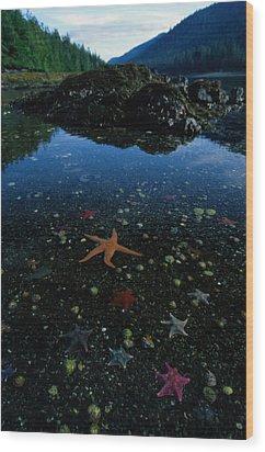 Low Tide Reveals A Galaxy Of Bat Stars Wood Print by Raymond Gehman